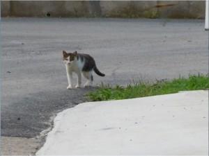 田代島猫1